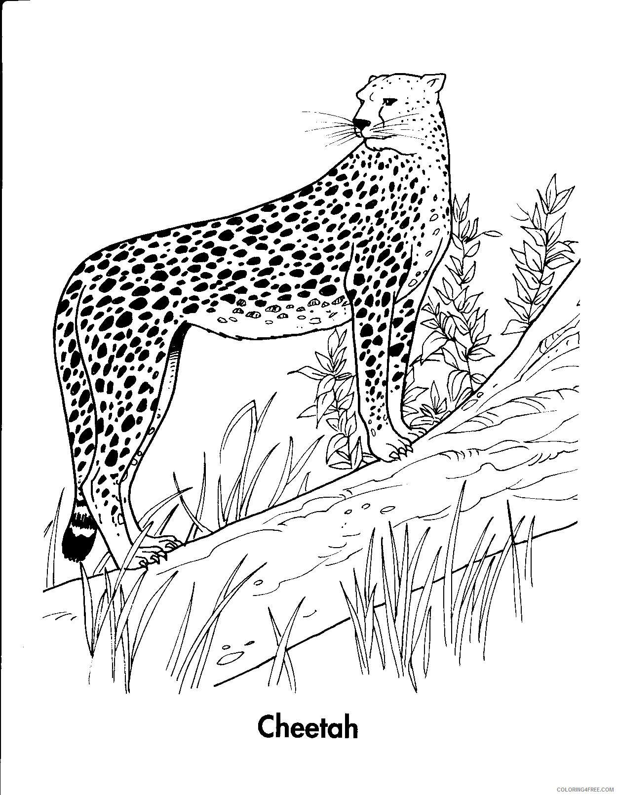cheetah coloring pages standing on tree Coloring4free