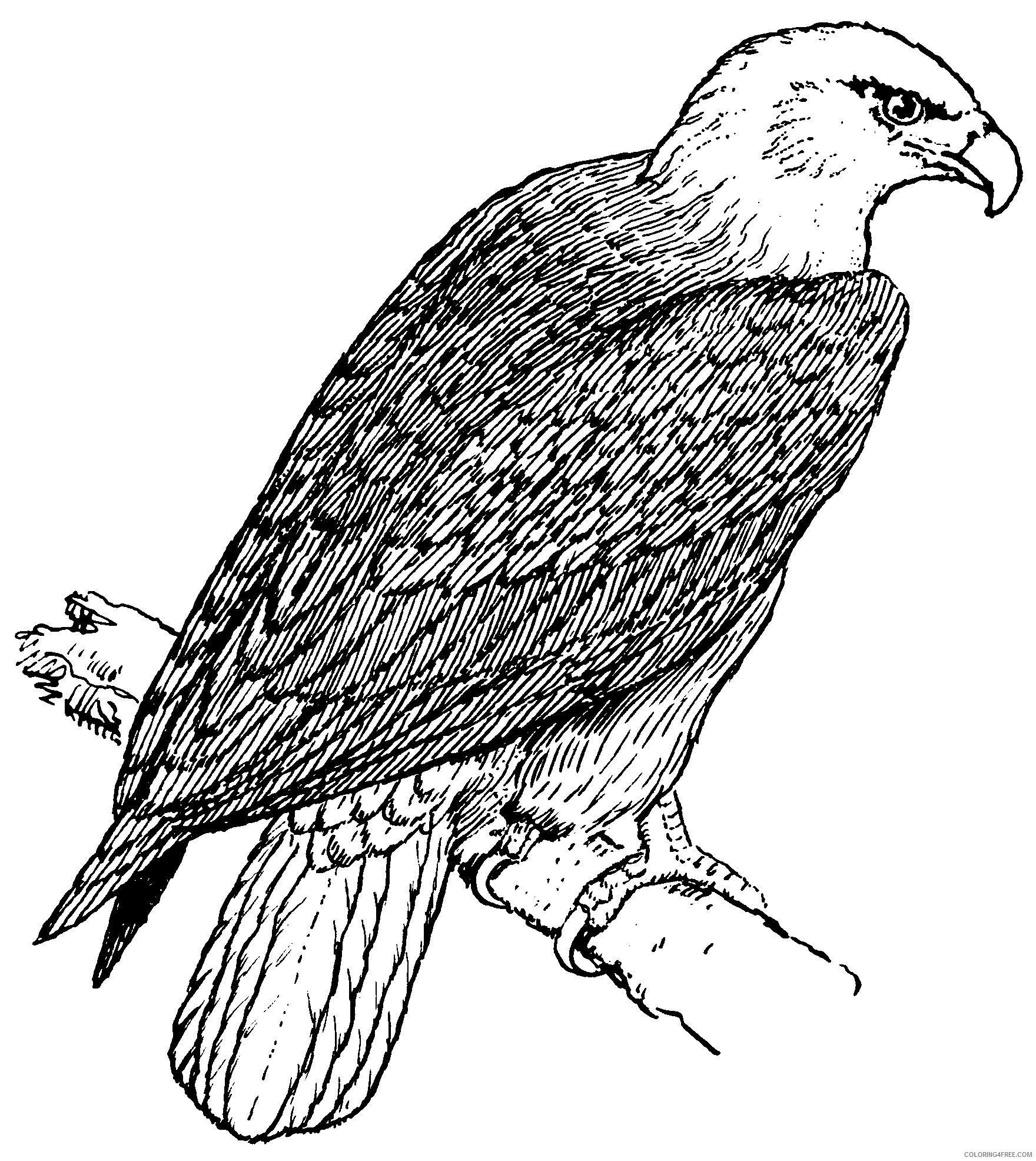 eagle coloring pages perched on branch Coloring4free