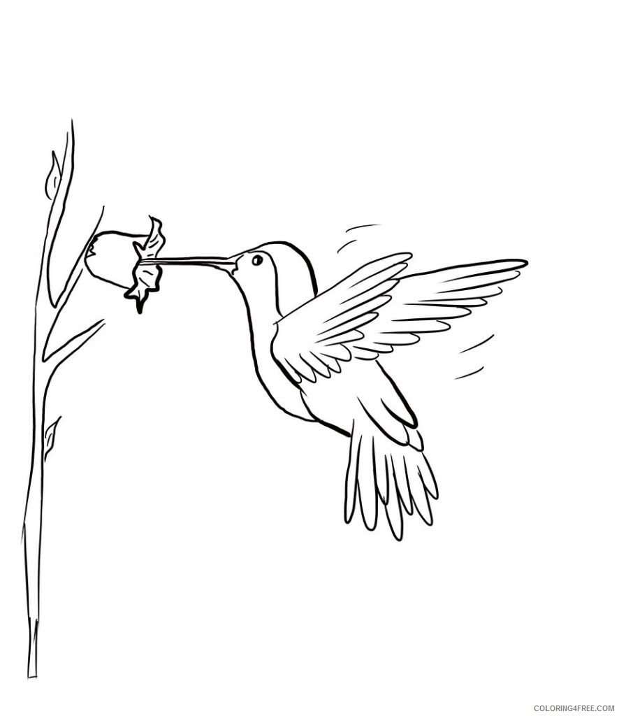 hummingbird coloring pages sipping nectar Coloring4free
