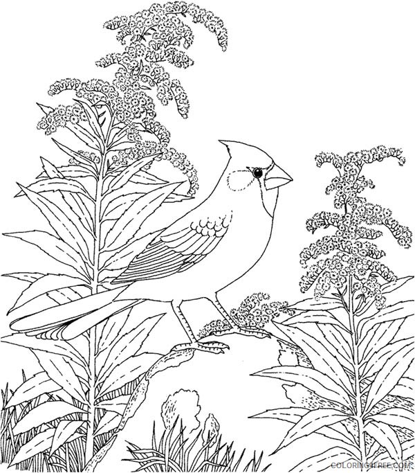 northern cardinal bird coloring pages Coloring4free