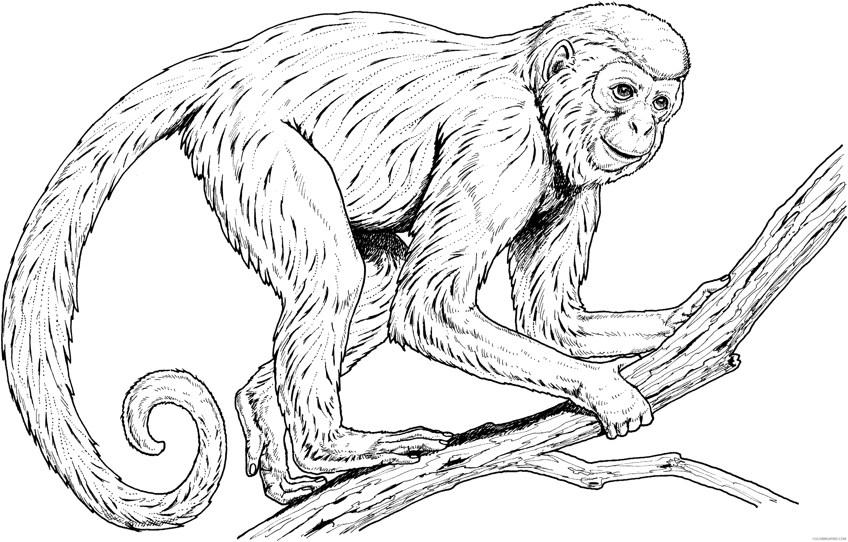 realistic monkey coloring pages Coloring4free