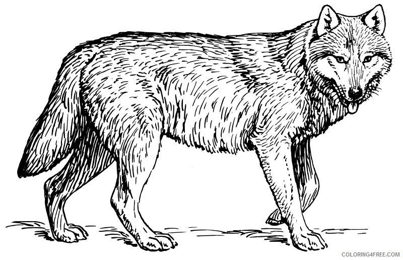 wolf coloring pages realistic Coloring4free