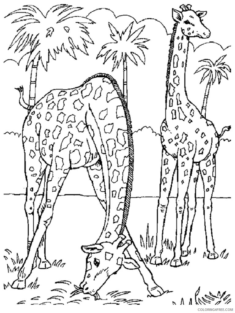 zoo animal coloring pages two giraffes Coloring4free